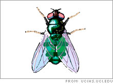 Blowfly larvae, otherwise known as maggots, are used to clean wounds.