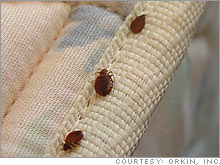 Bedbugs on parade